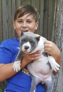 xxl bully for sale pitbull