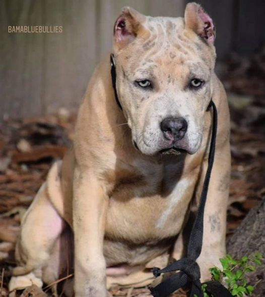 BAMABLUEBULLIES Barbie at 4 months