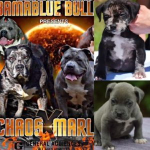 #Bamanews These guys are 7 weeks #ProbullsBamBam grandkids  BAMABLUEBULLIES.COM …