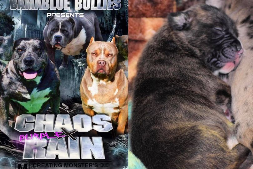#Bamanews Beautiful Brindle female off Chaos and Purple Rain  #ProbullsBamBam gr…