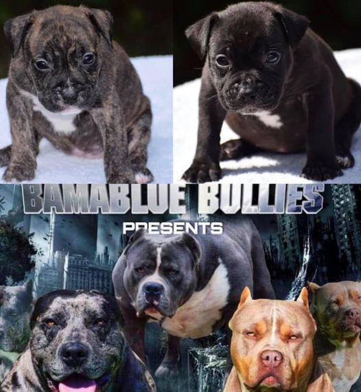 #Bamanews Two beautiful females looking for a  #ProbullsBamBam granddaughters BA…