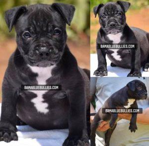 #Bamanews Beautiful female 7 weeks old BAMABLUEBULLIES.COM #bullypuppy #american…