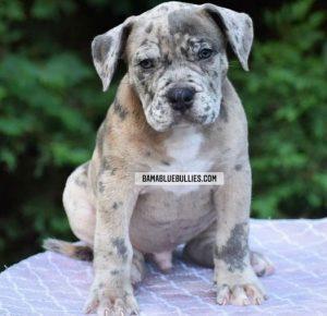 #Bamanews Big Merle male at 8 weeks BAMABLUEBULLIES.COM #merlebully #merlexxl #m…